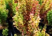 Berberis thunbergii 'Erecta Aurea